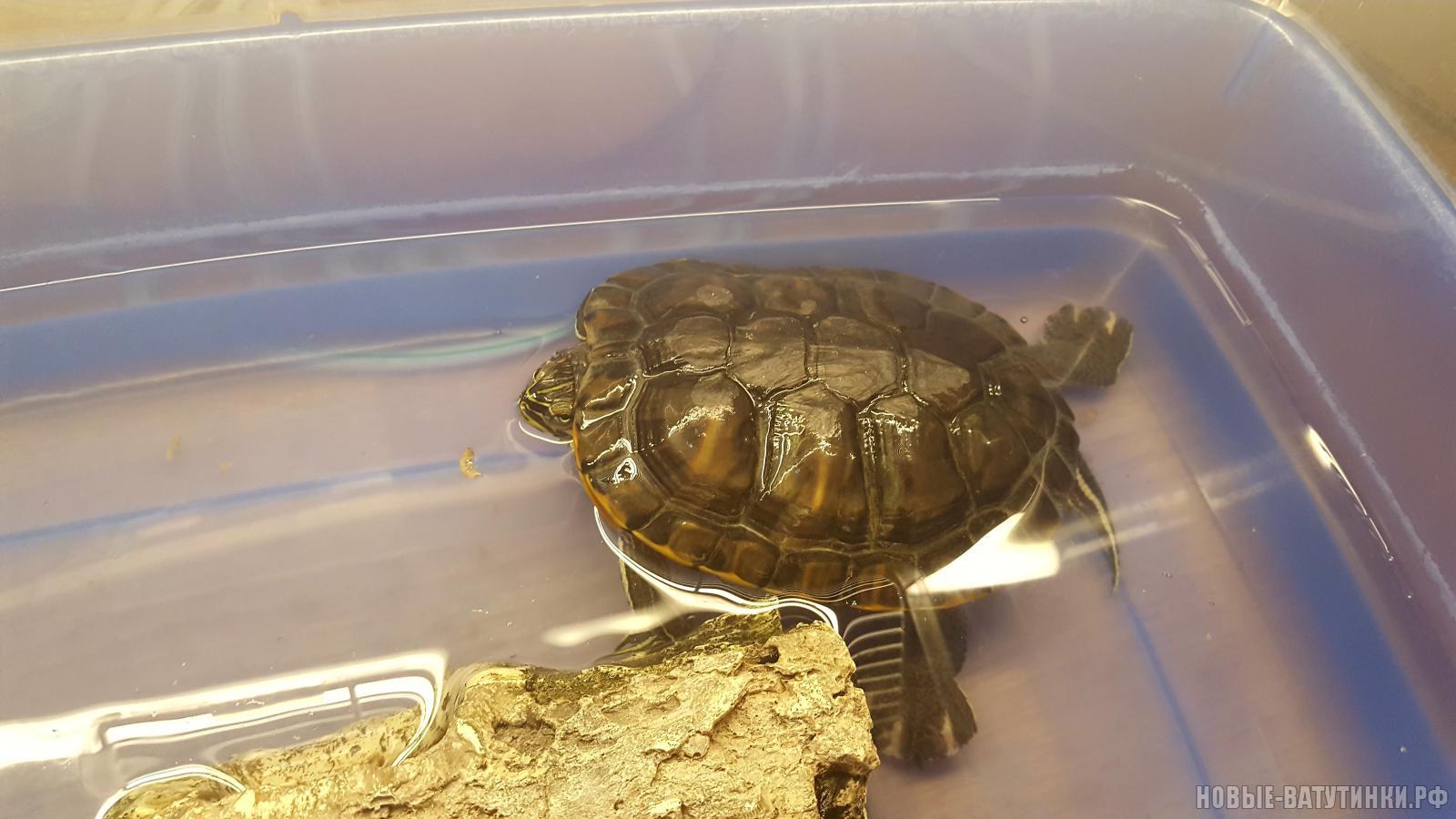 Красноухая черепаха 19