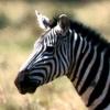 Фотография Zebra